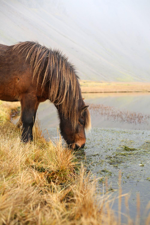 Horse_at_vestrahorn.jpg