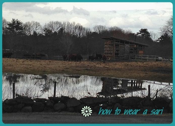 wearasari-april14-cows