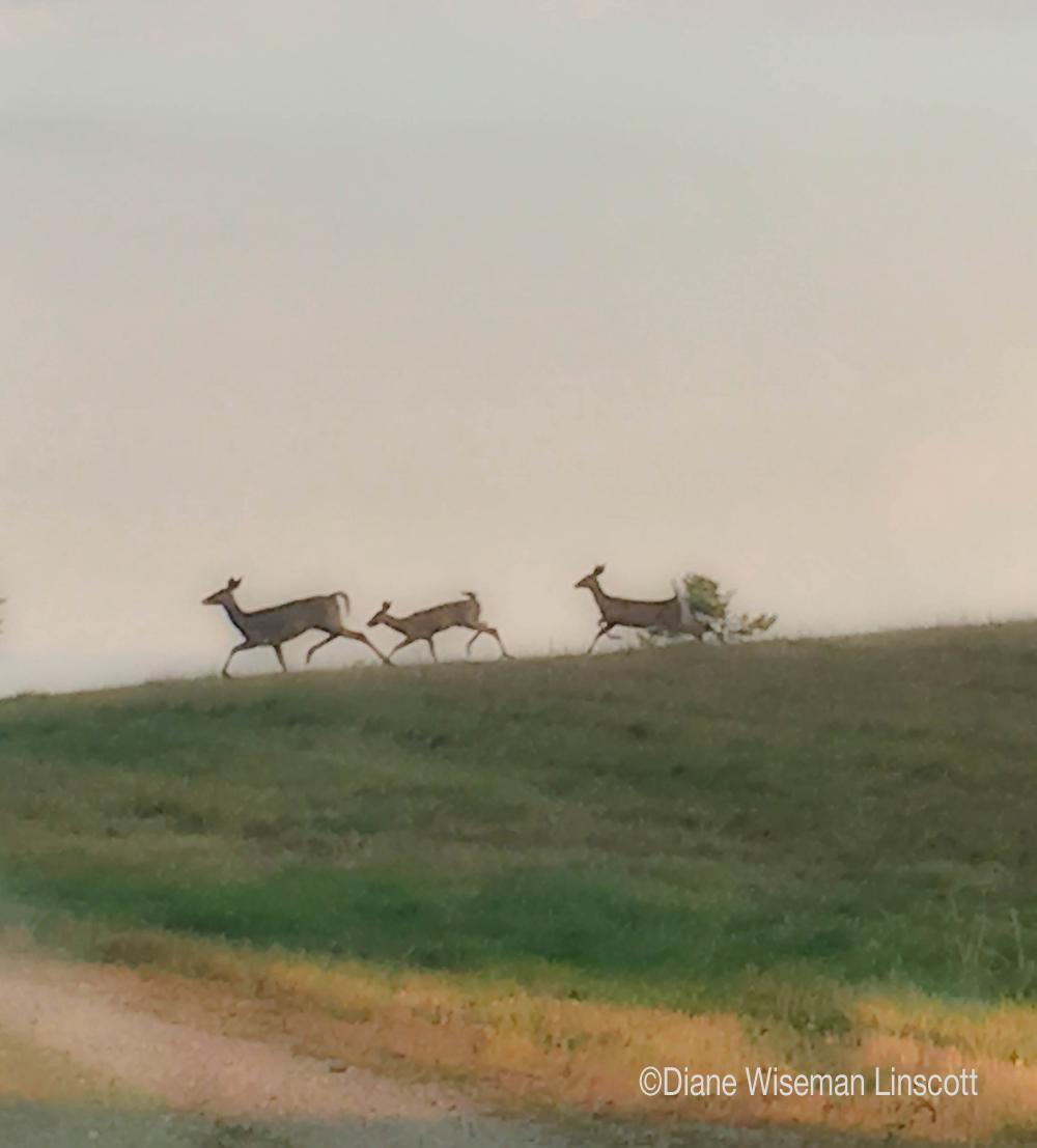 """Horizon Series-Deer"""