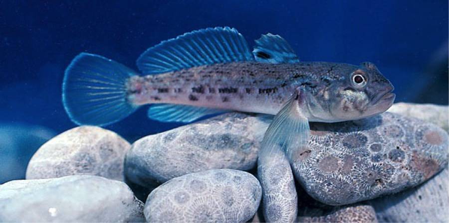 The Round Goby is one of the most harmful invasive species that is inflicting damage on ecosystems in the Great Lakes and surrounding water bodies. Via Lake Scientist