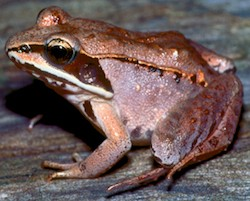 Wood frog,  Lithobates sylvaticus .