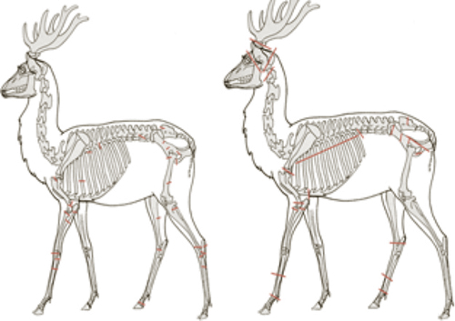 Figure 2: Locations of butchery cut marks on deer and elk bones from the Engelbert (left) and showing the absence of cut marks on the upper legs at Eshelman (right) archaeological sites.