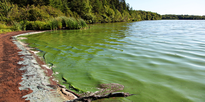 Cyanobacteria take over a lake.  Via Shutterstock.