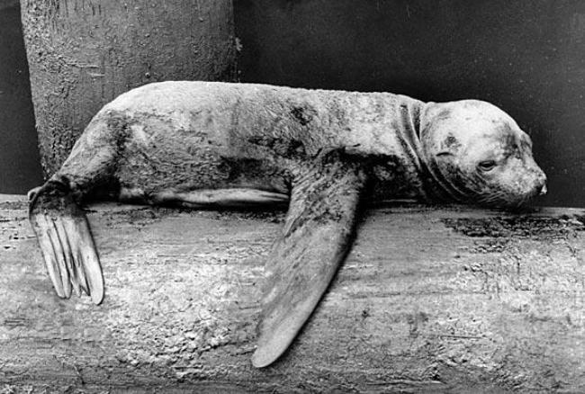 Dying seal found at the 1969 Santa Barbara oil spill.