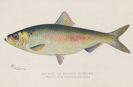 "Alewife or Branch Herring. (Pomolobus Pseudoharengus). By Sherman F. Denton. Chromolithograph, 1895-1909. From the New York State report titled ""Fish and Game of the State of New York."""