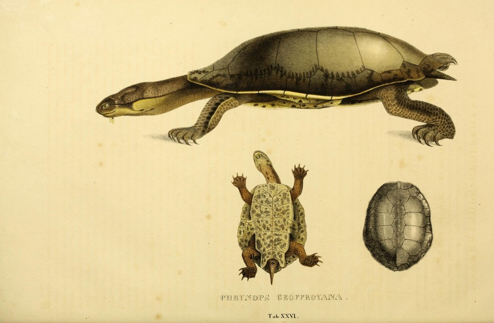 Vintage Turtle Printable Art