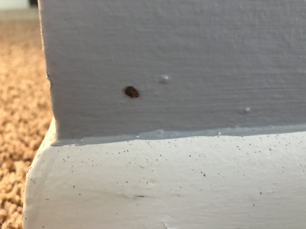 Bed bug on the baseboard in the living room of my unit