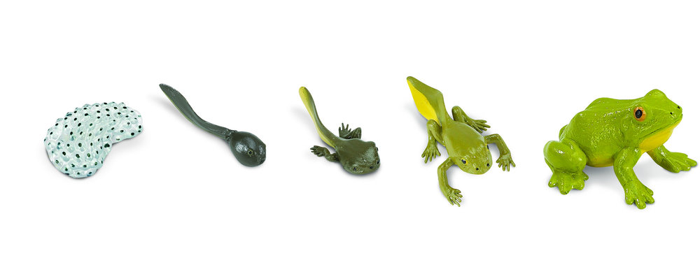 froglifecycle.jpg