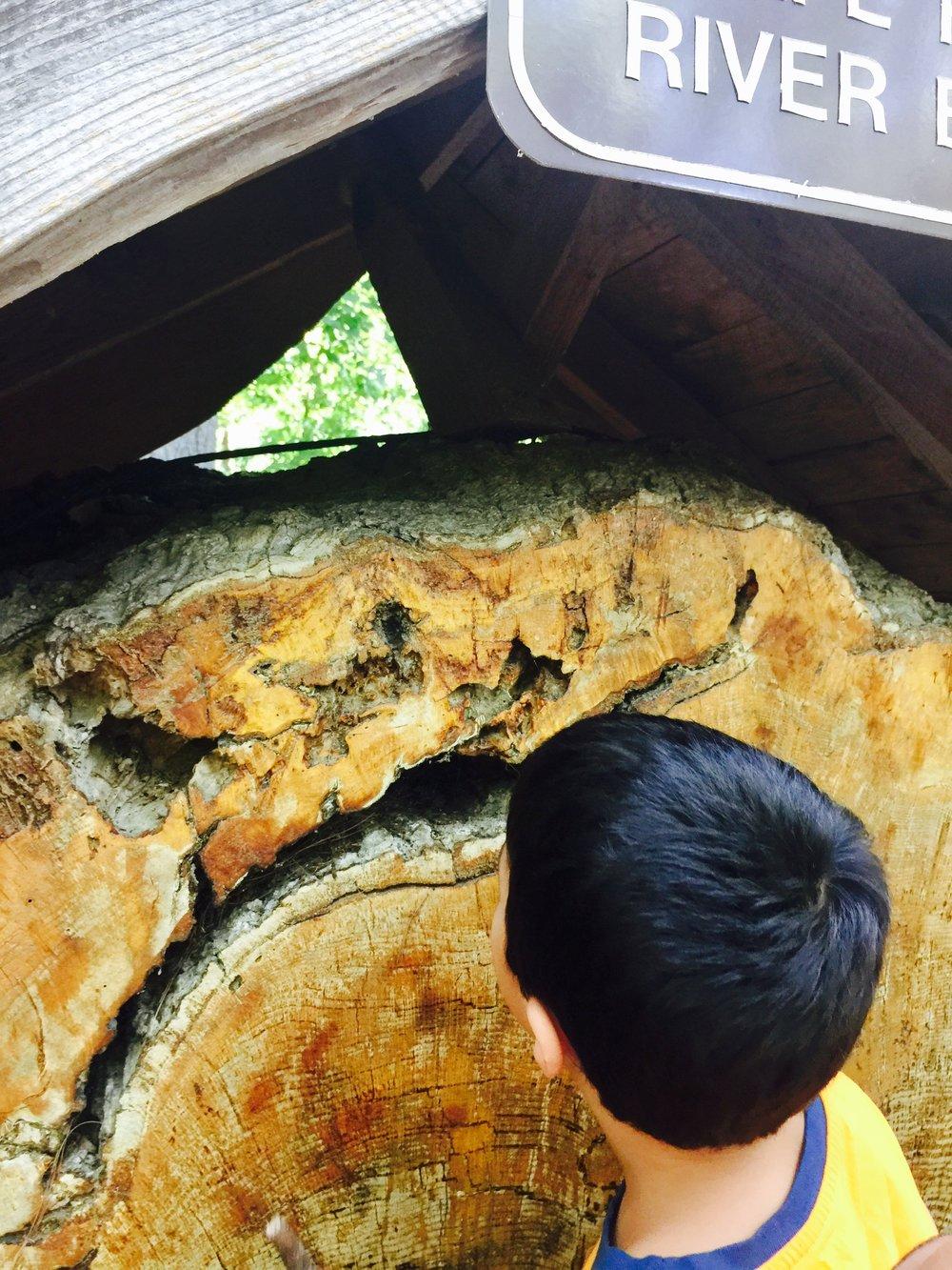 8. crack in tree cookie.jpg