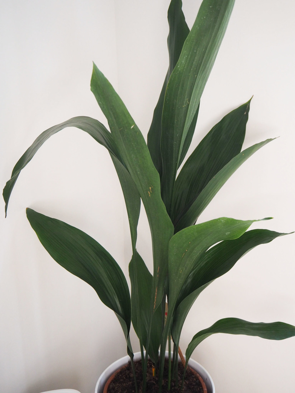 The cast iron plant, which thrives on neglect! My Aspidistra Elatior House Plant.