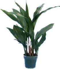 Asidistra Elatior from Aylett Nurseries £29.99