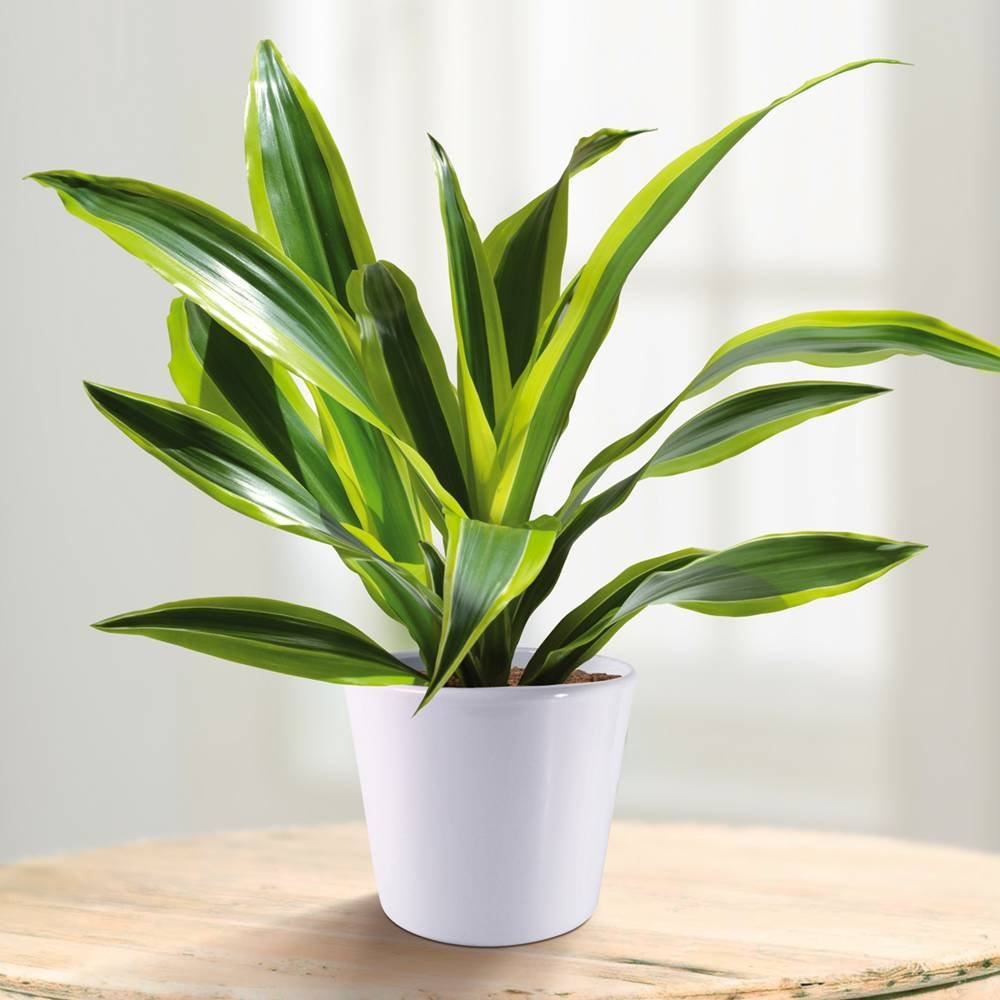 Dracaena Fragrans Surpise £11.99