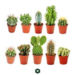 Set of 10 Cacti plants £17.80