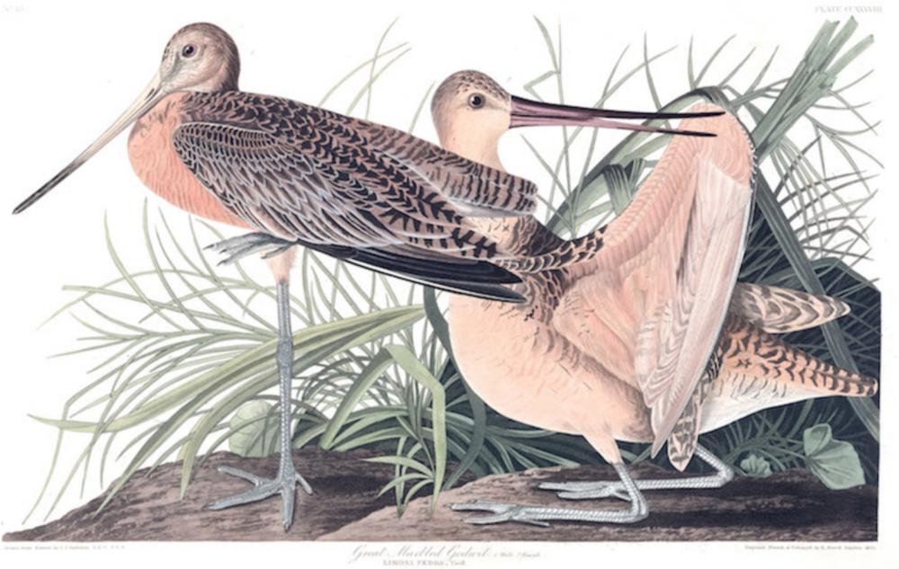 Bird – Great Marbled Godwit £24