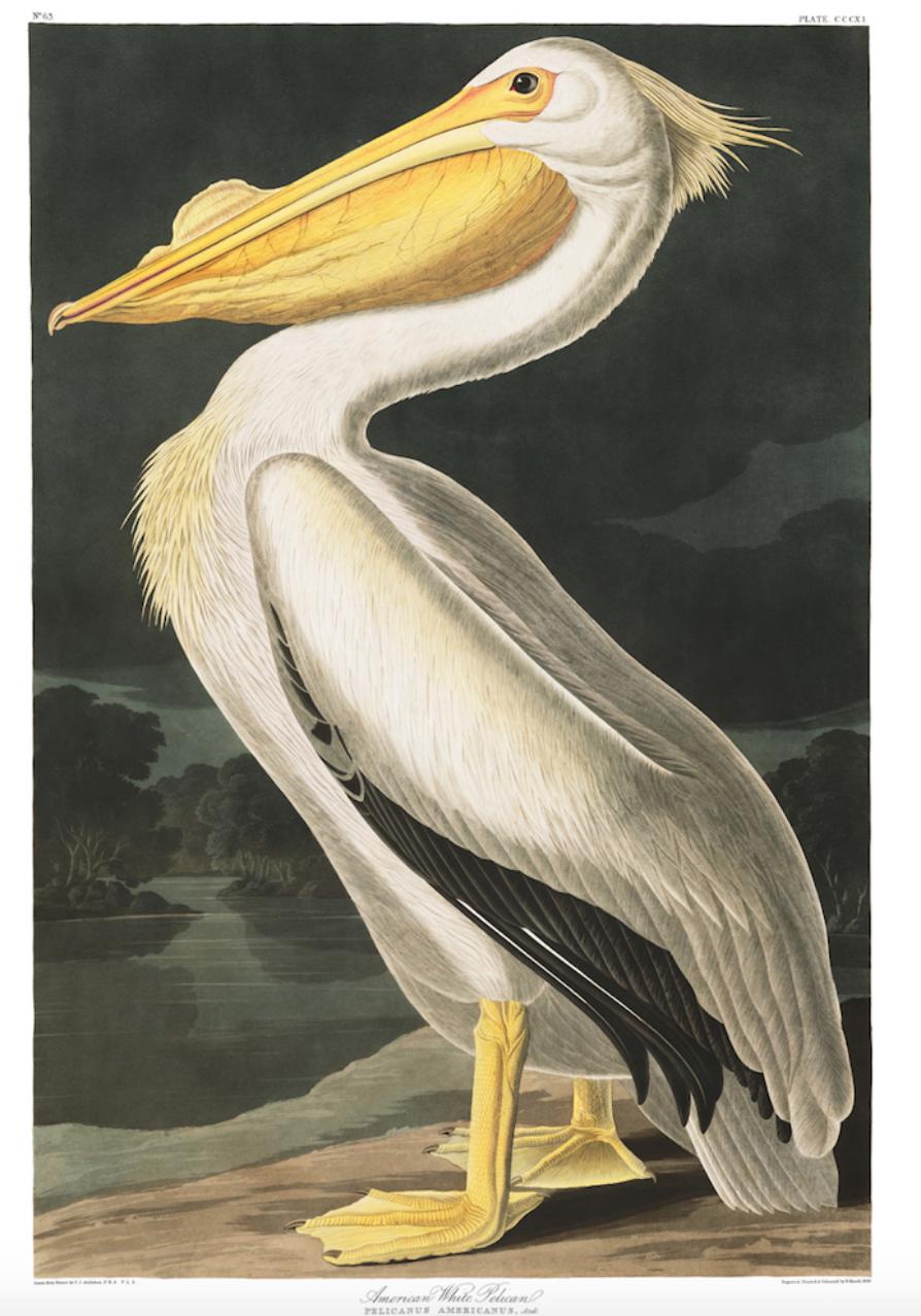 Bird- Vintage Pelican print