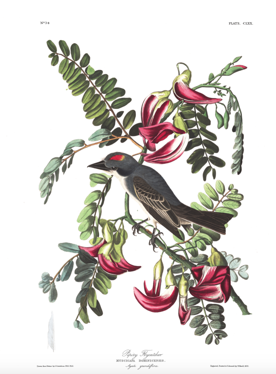 Bird – Piping Flycatcher £24