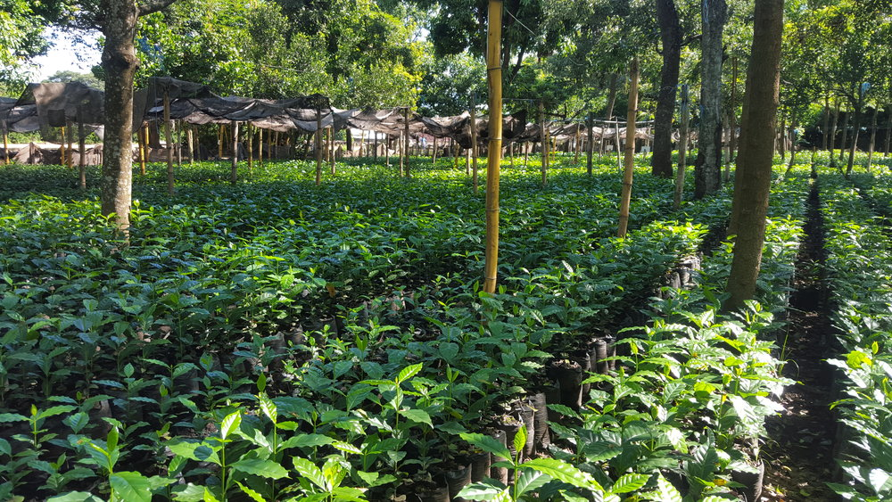 Our coffee tree nursery in the mill. we promote using nurseries as a way to reforest the farms.