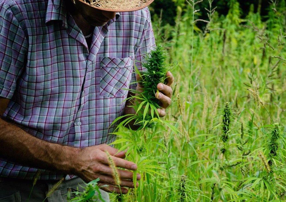 104747102-marijuana_farmer.1910x1000.jpg