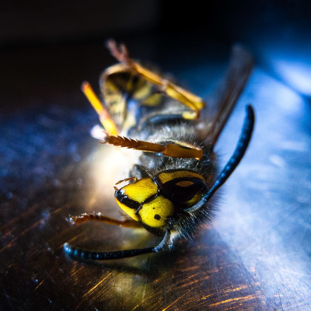 dead-wasp.jpg