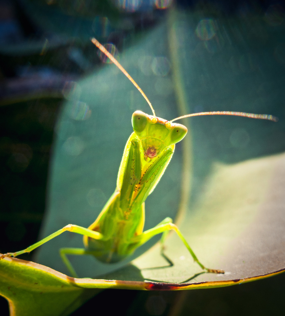 praying-mantis-on-leaf.jpg