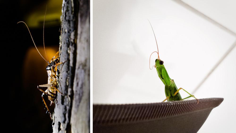 weta-praying-mantis.jpg