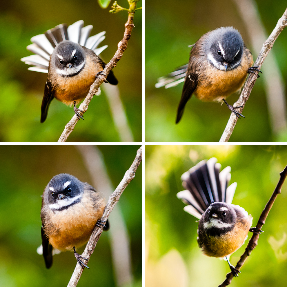 fantail-two-by-two.jpg