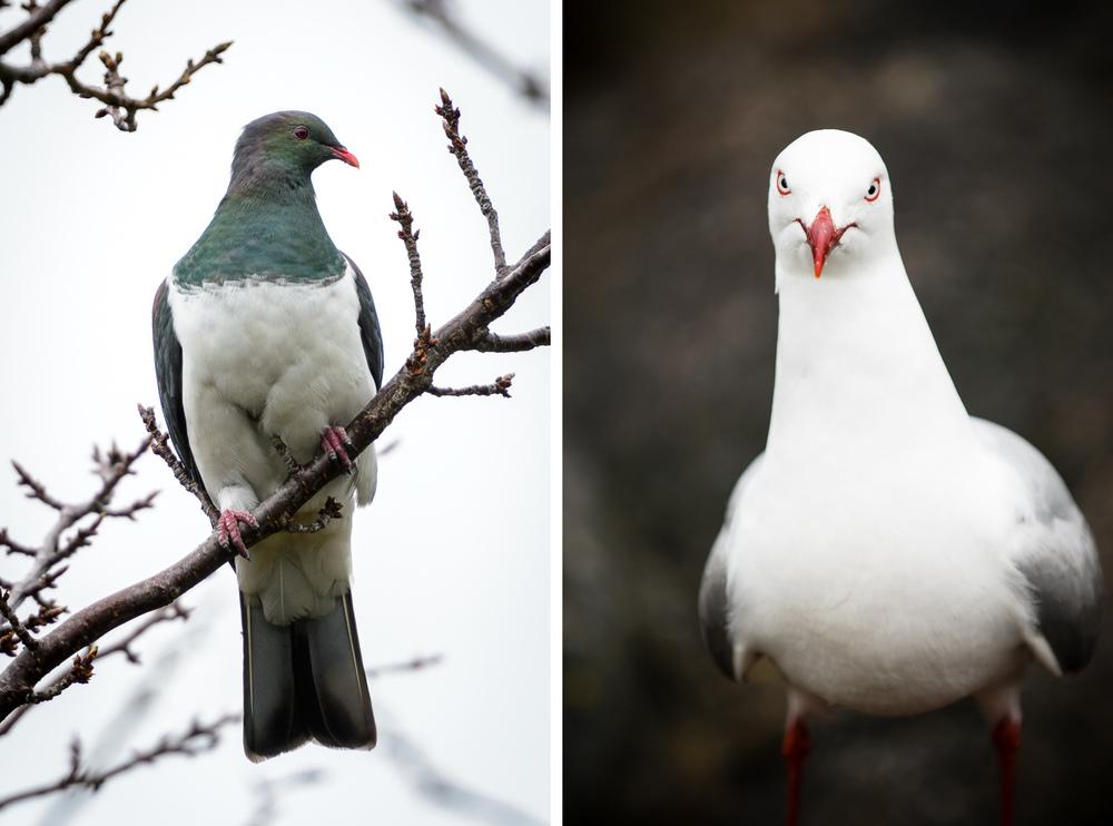 kereru-seagull.jpg