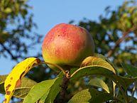 193px-Jabłko_-_owoc.JPG