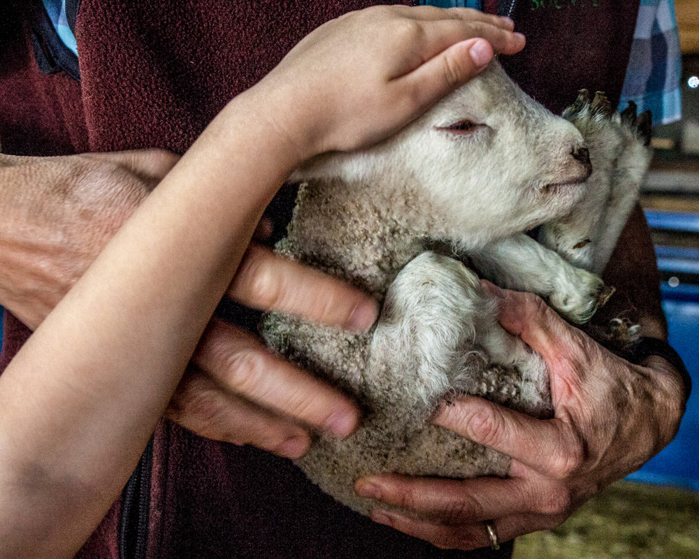 Eleanora Buratti, 6, reaches to pet a day-old lamb, held by her father James. The Burattis run a small Cheviot sheep breeding operation in the small town of Granger. Mr. Buratti's family has owned the 100-acre farm for five generations.