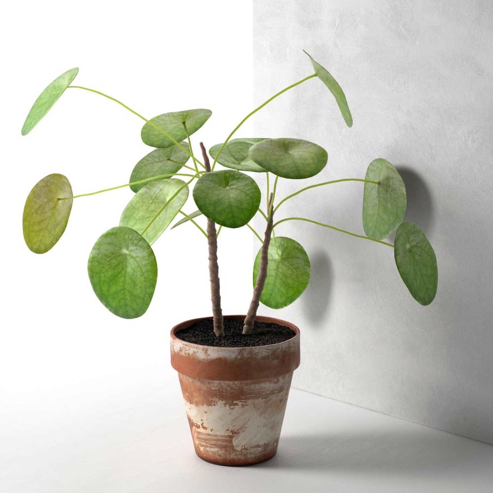chinese money plant.JPG