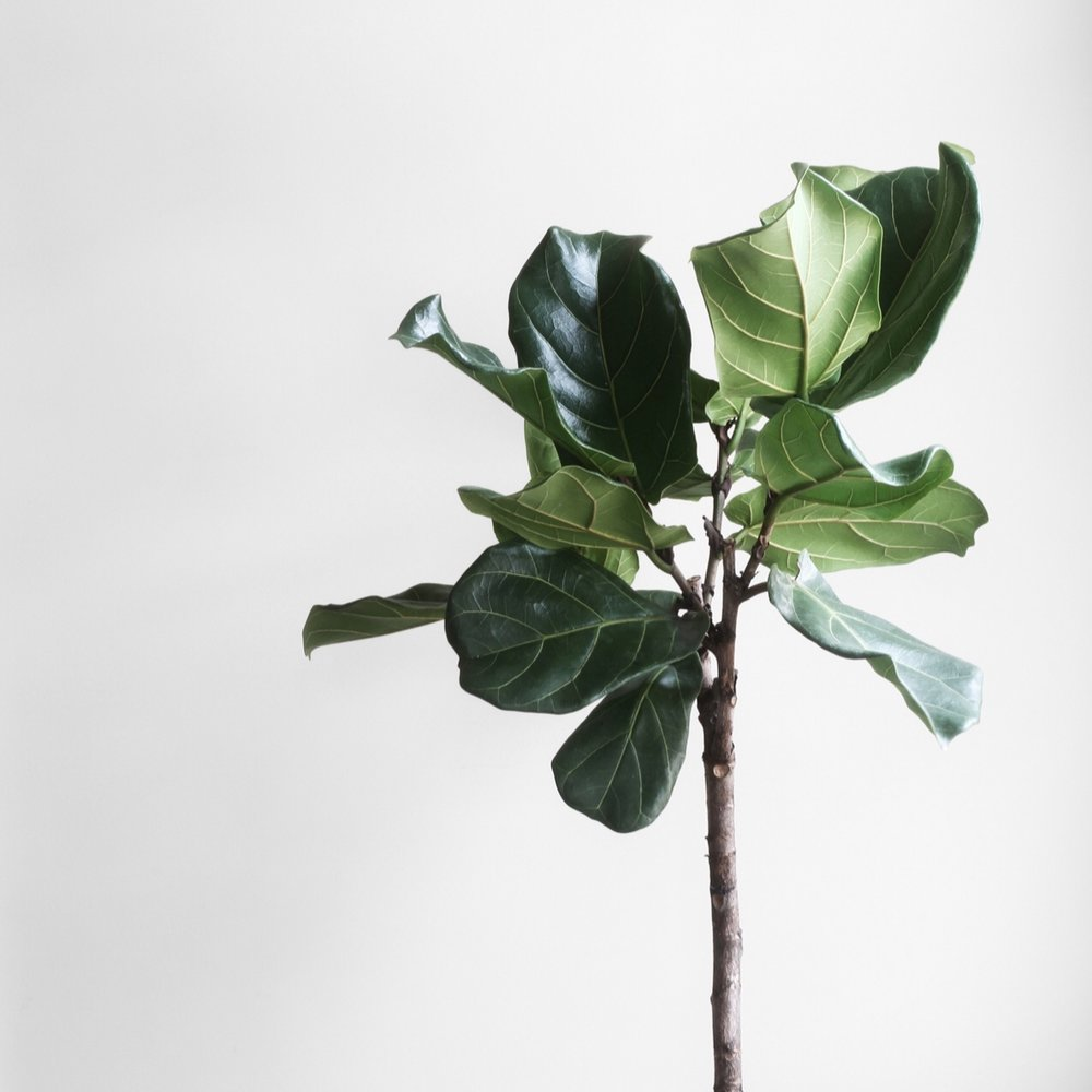 fiddle leaf fig.JPG