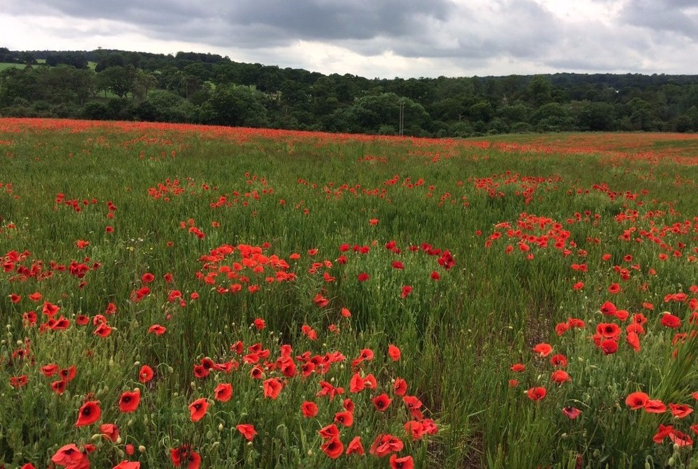 A section of the Southill Solar site - we look forward to seeing the wildflower meadow and these poppies year after year while Southill Solar is on site.