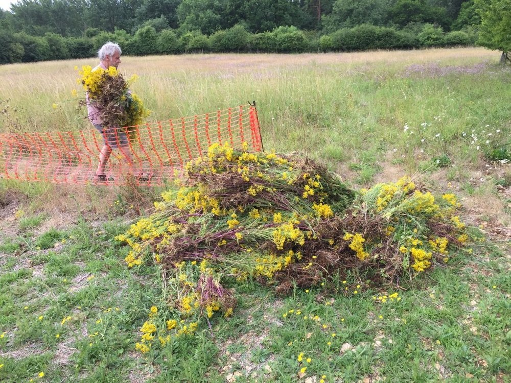 Pulling ragwort from the meadow in July
