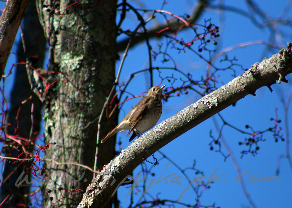 Hermit Thrush - Version 2.jpg