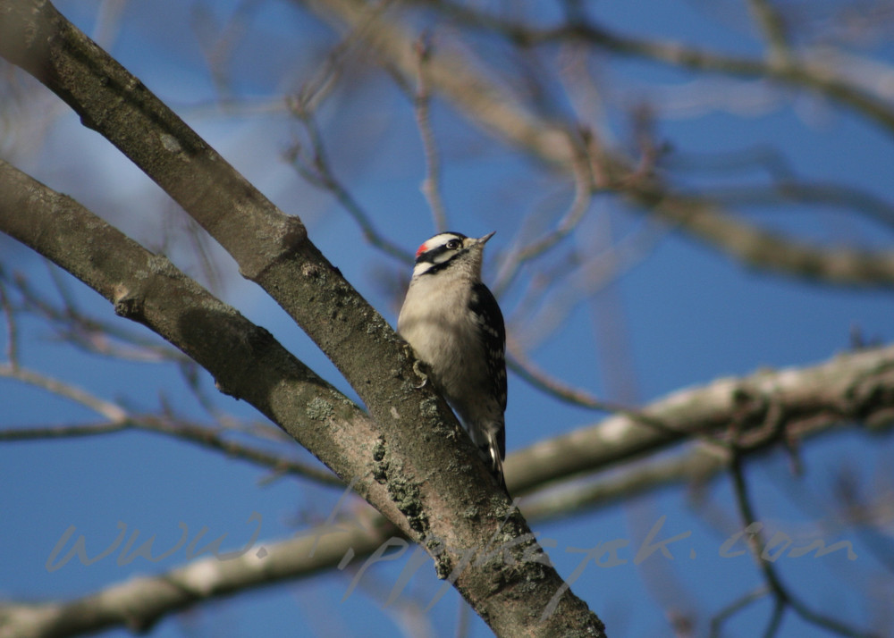 Downy Woodpecker - Version 2.jpg