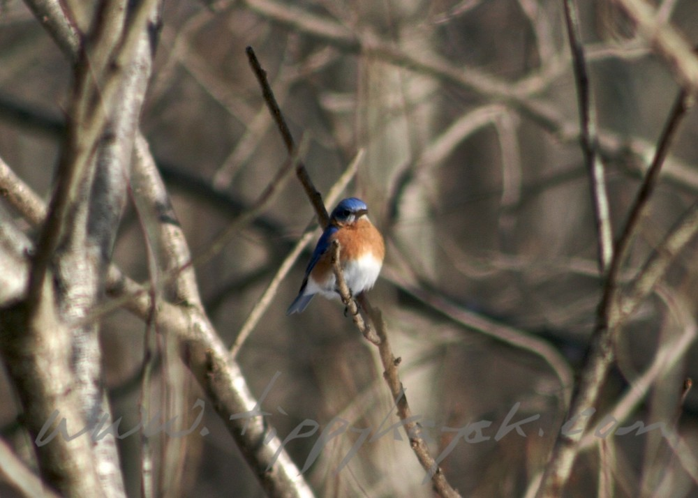 Eastern%20Bluebird.jpeg