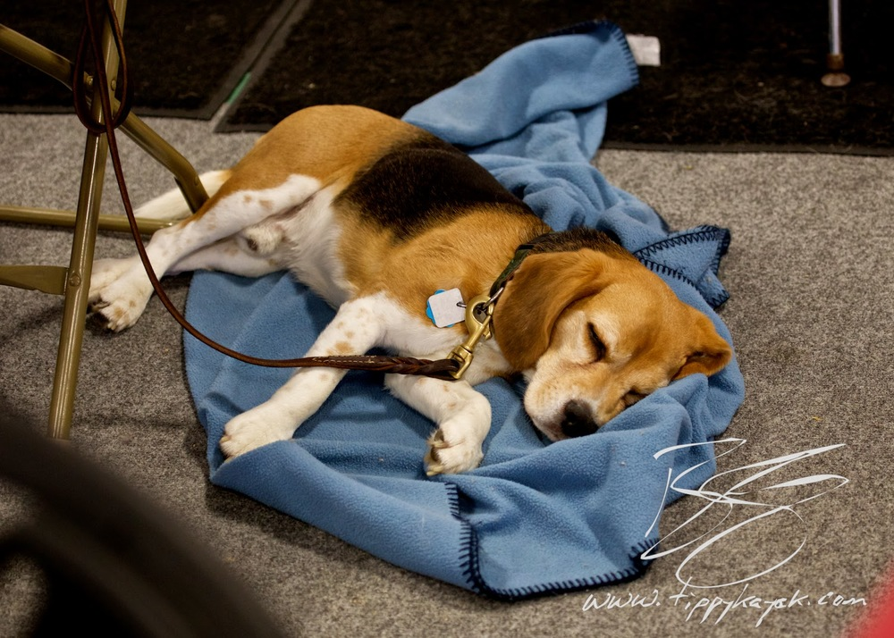 Beagles are famous for being intense about food, but this little guy is really well-trained and was so good at settling down that he dozed off.
