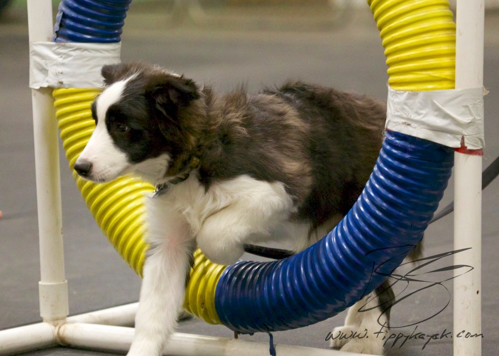 In puppy classes, we help build puppies' confidence and experience by giving them opportunities to interact with different obstacles and surfaces.