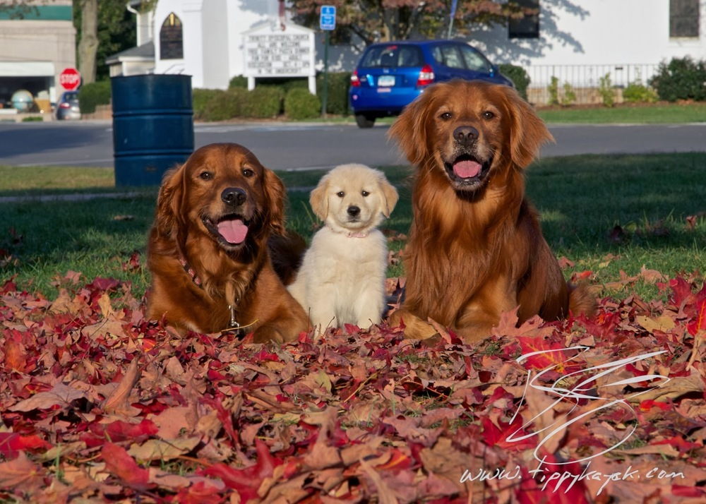 Goldens can come a huge range of colors, but color shouldn't drive a breeding program.