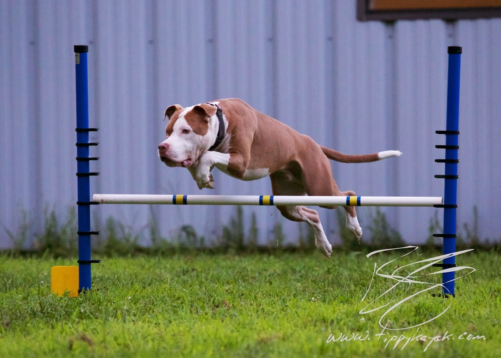 Dazz does the good kind of jumping at  Paws N' Effect , 2013.