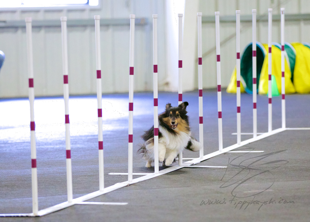 A Sheltie runs through the weave poles during an agility trial at Paws 'N Effect.