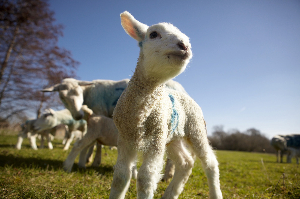 Lambing feature from the Archive