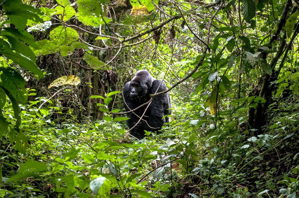 Gorilla-3.jpg