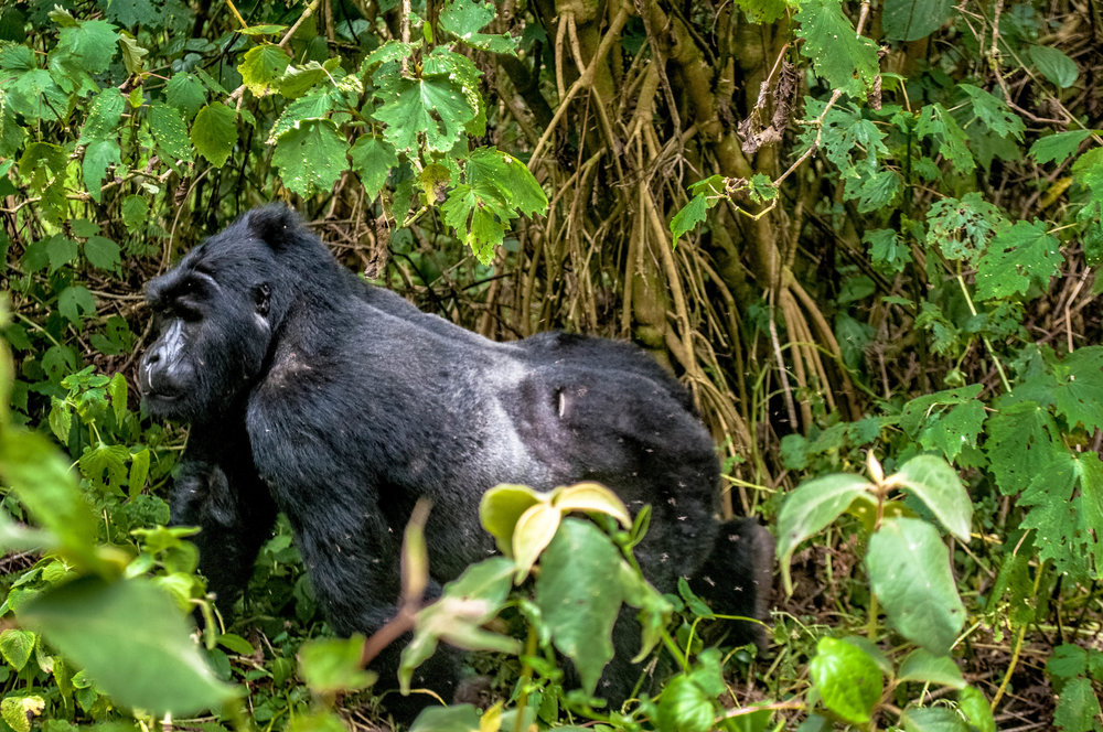 Gorilla-9.jpg