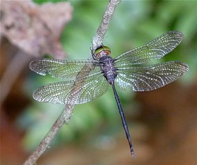 Dragon flies are one of many insect species that rely on wetlands. Several years of their lives are spent as nymphs living in fresh water. Image Source: Jkadavoor/Wikimedia Common