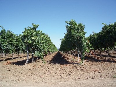 Cantele Vineyard -
