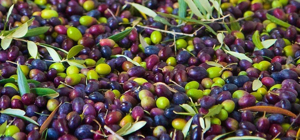 Fresh Picked Olives.jpg