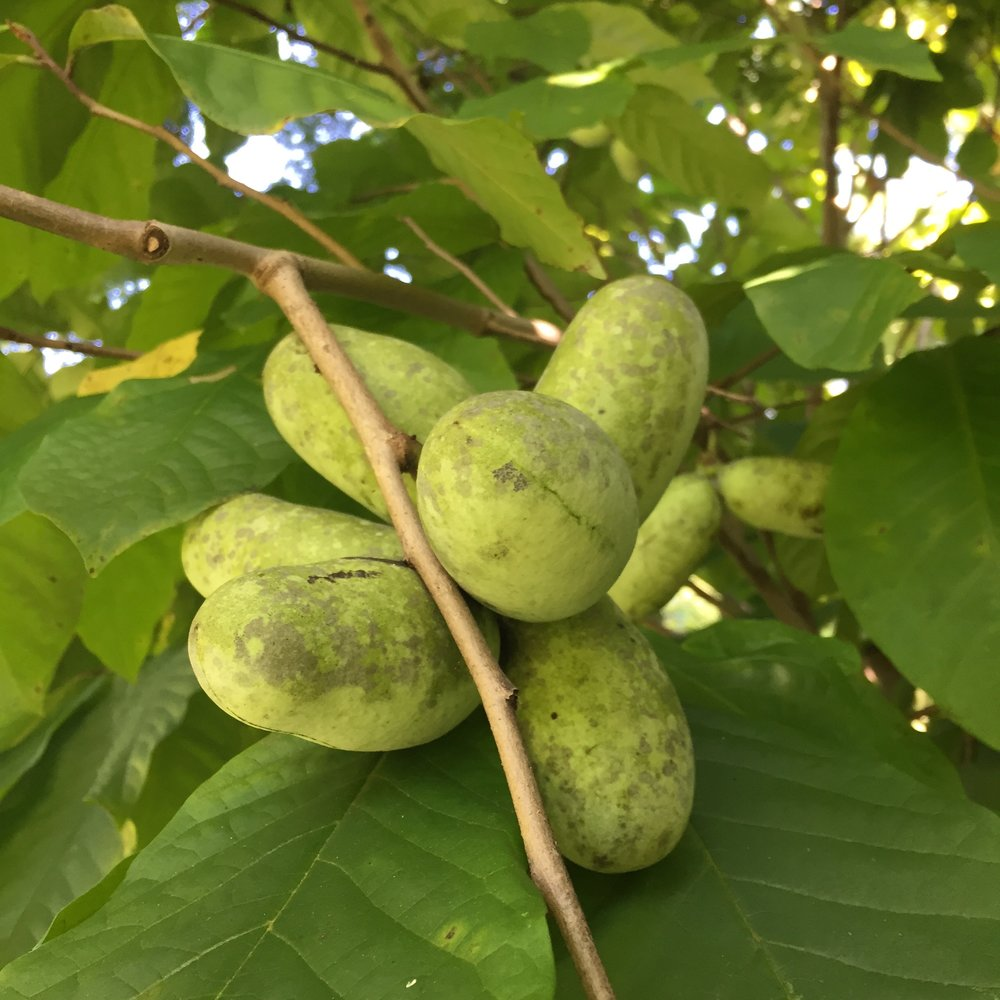 A pawpaw is a fruit and tree. Pawpaw trees ( Asimina triloba ) are native to most of the eastern United States and southeastern Canada.