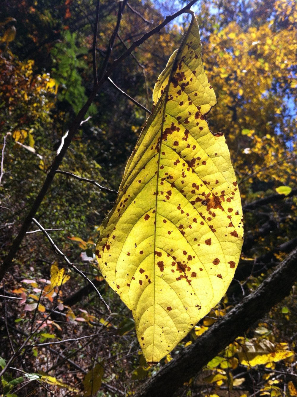 I picked the name Pawpaw Patch Productions for my business because there is so much I enjoy about these trees including the large lemon-yellow leaves each autumn. I also like alliteration.