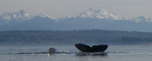Visting Gray Whale